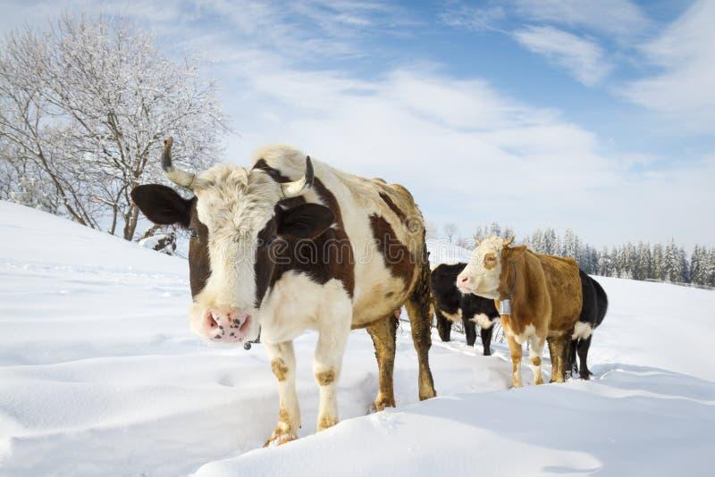 krowy zdjęcie royalty free