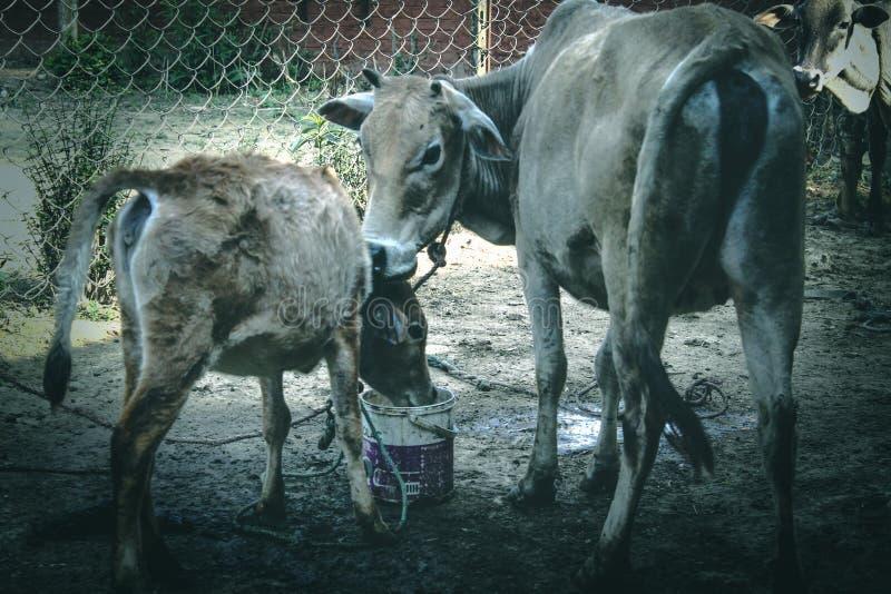 Krowy ans łydka zdjęcia royalty free