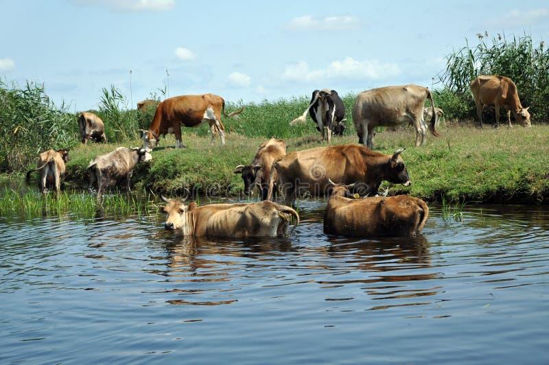 Krowy bierze skąpanie w rzece obrazy stock