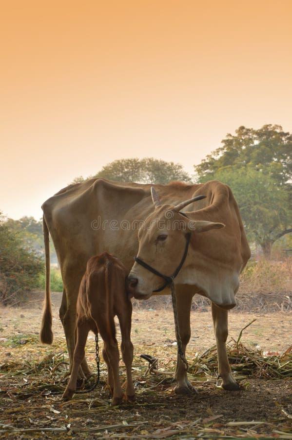 Krowy bydła trakeny obrazy stock