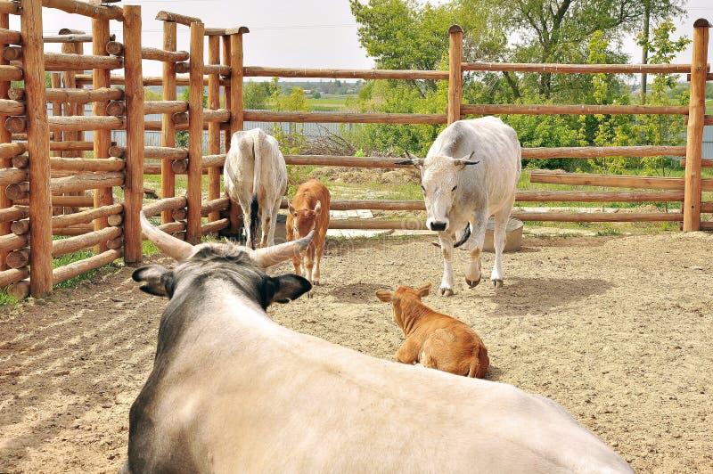 Krowy, byk i łydki, obraz stock