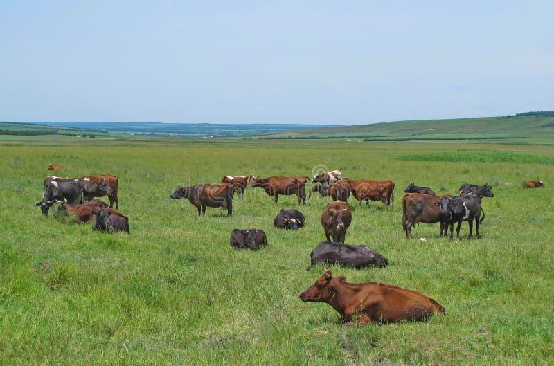 Krowy, byki, łydki, i obraz royalty free