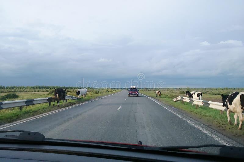 Krowy chodzą wzdłuż drogi obrazy stock