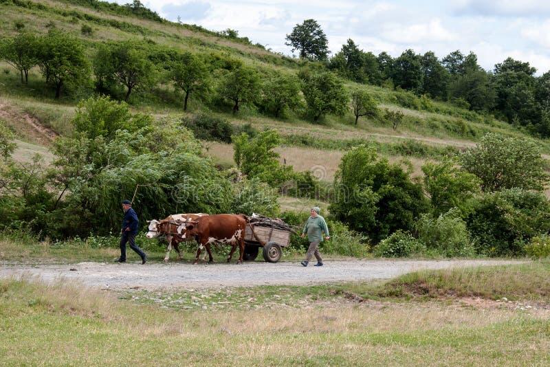 Krowy ciągnie furę z drewnem fotografia royalty free