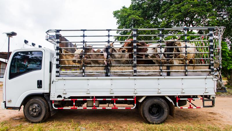 Krowy ciężarówka obraz royalty free