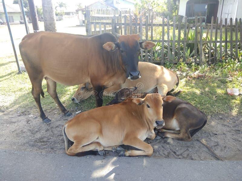 Krowy colonie obrazek obraz stock
