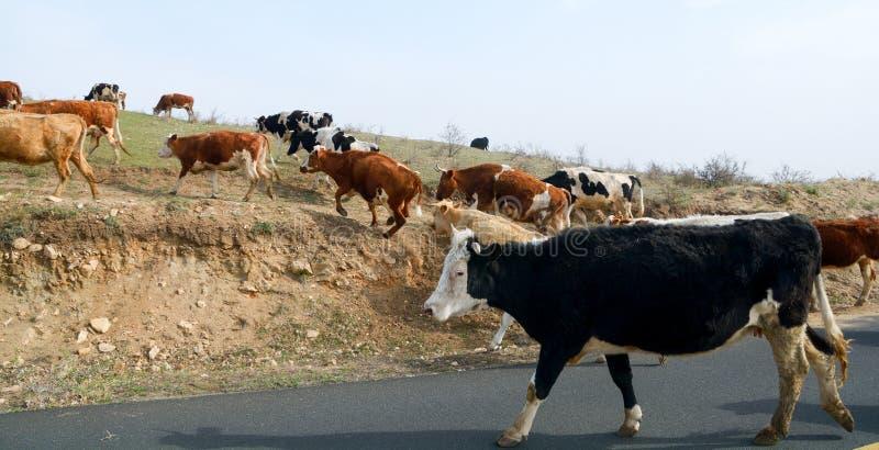 Krowy czarno-białe obraz royalty free