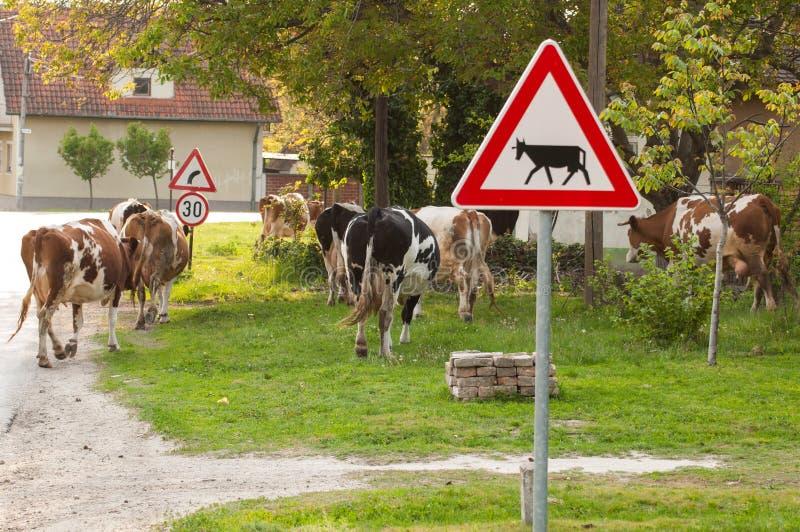 krowy drogowe Zwierze domowy plenerowy obrazy stock
