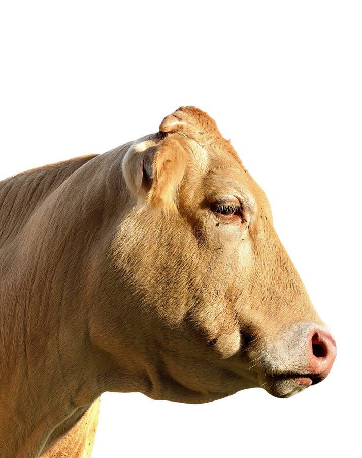 krowy głowa fotografia stock