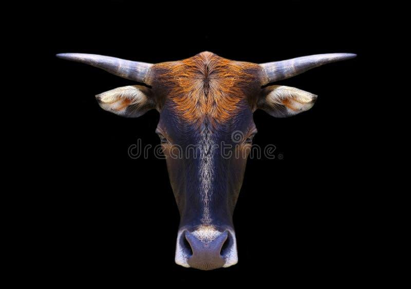 Krowy głowa odizolowywająca na czerni obrazy royalty free