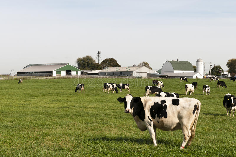 krowy gospodarstwa rolnego stada paśnik obrazy royalty free