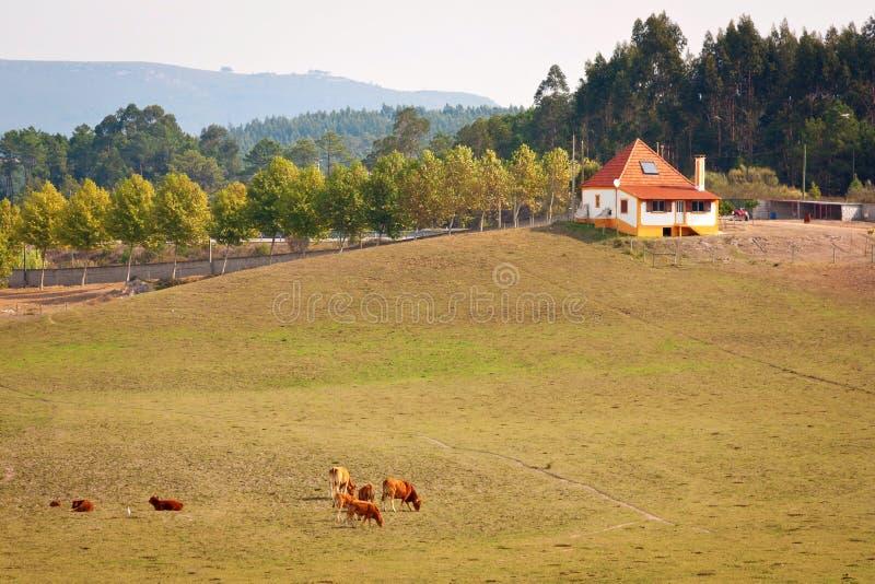 krowy gospodarstwo rolne fotografia royalty free