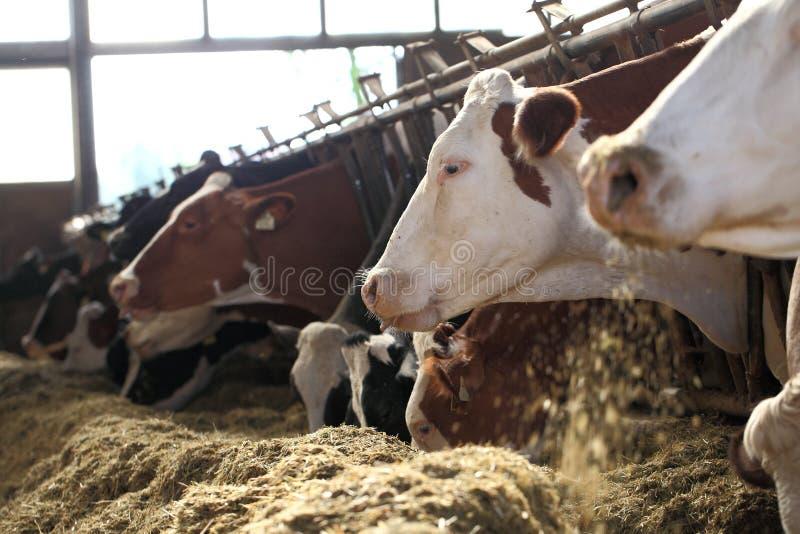 Krowy gospodarstwo rolne zdjęcie stock