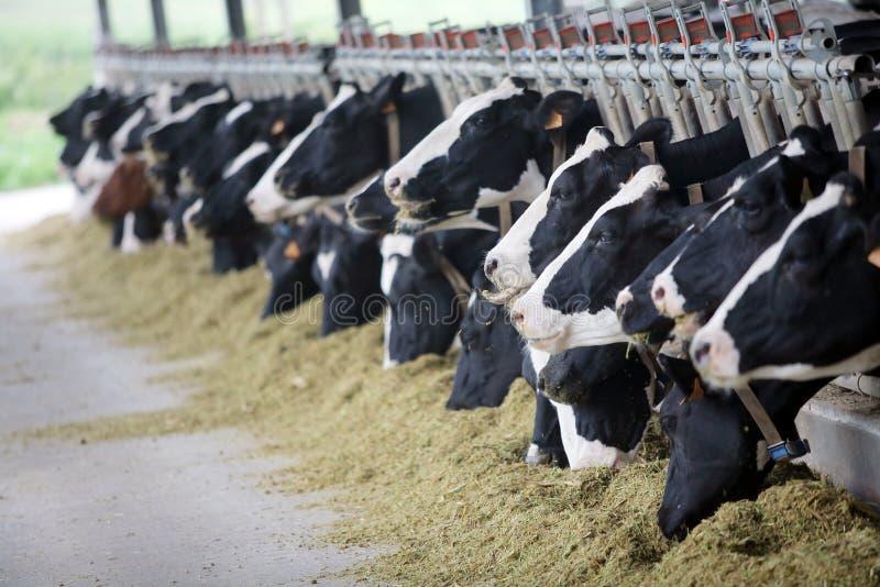 krowy holstein zdjęcia stock