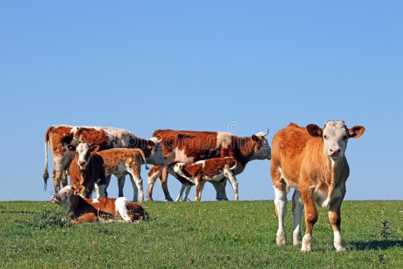 Krowy i łydki obraz royalty free