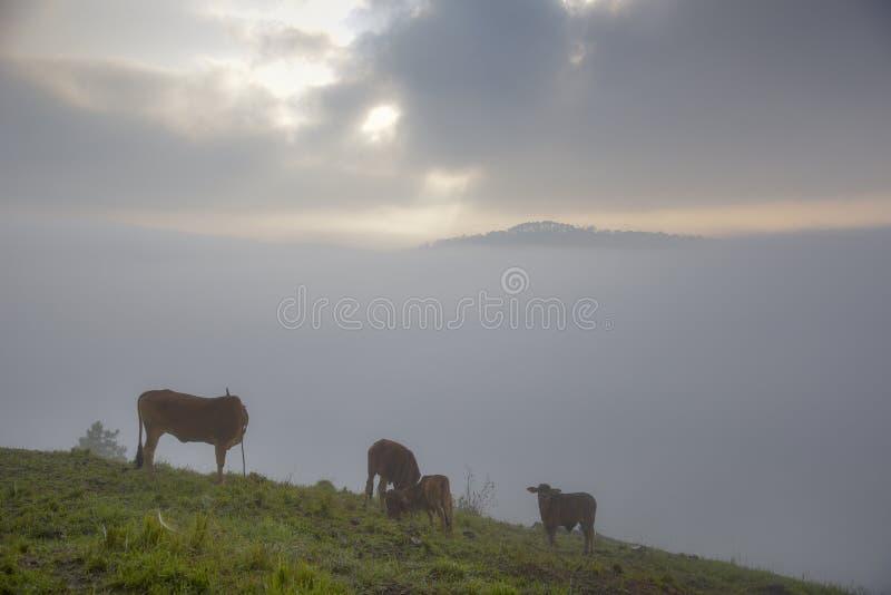 Krowy i łydki na gospodarstwie rolnym z zwartej mgły tłem przy jutrzenkową częścią 28 zdjęcia stock