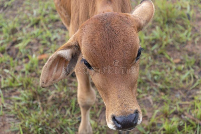 Krowy i łydki na gospodarstwie rolnym z zwartej mgły tłem przy jutrzenkową częścią 15 zdjęcia royalty free