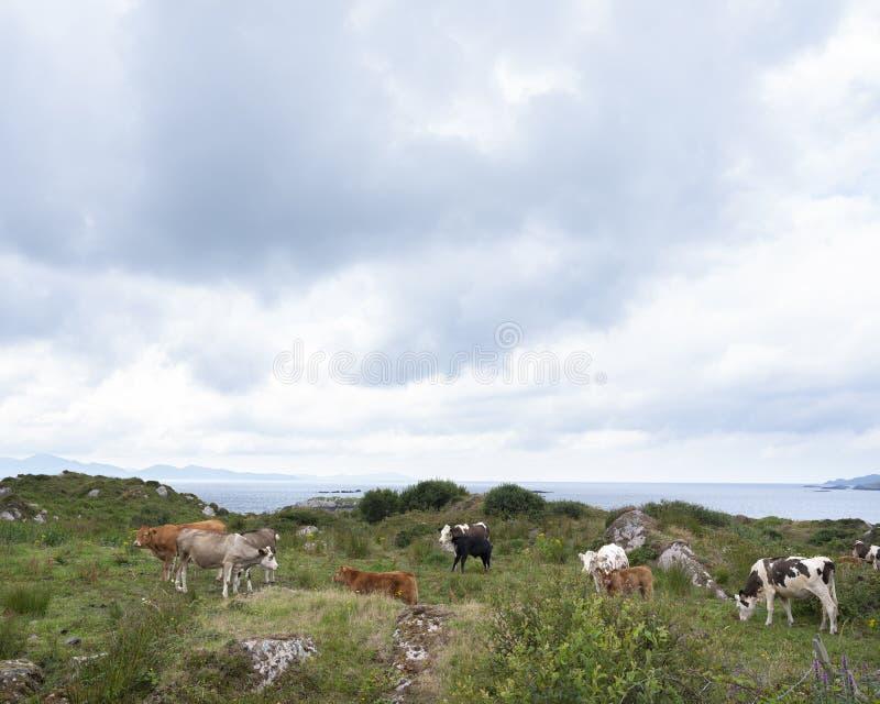 Krowy i łydki na Kerry półwysepie w Ireland fotografia royalty free
