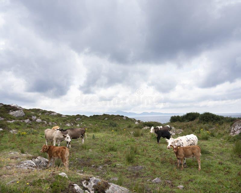 Krowy i łydki na Kerry półwysepie w Ireland zdjęcia royalty free