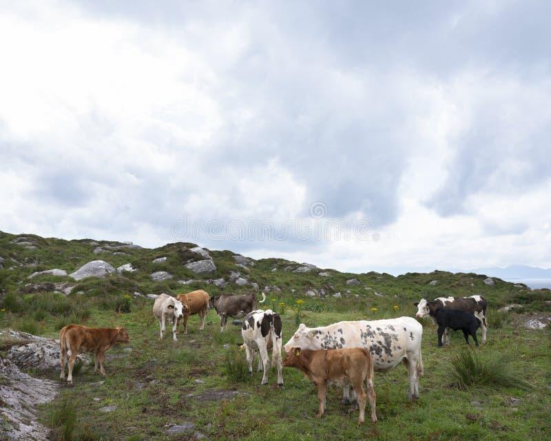 Krowy i łydki na Kerry półwysepie w Ireland zdjęcie royalty free