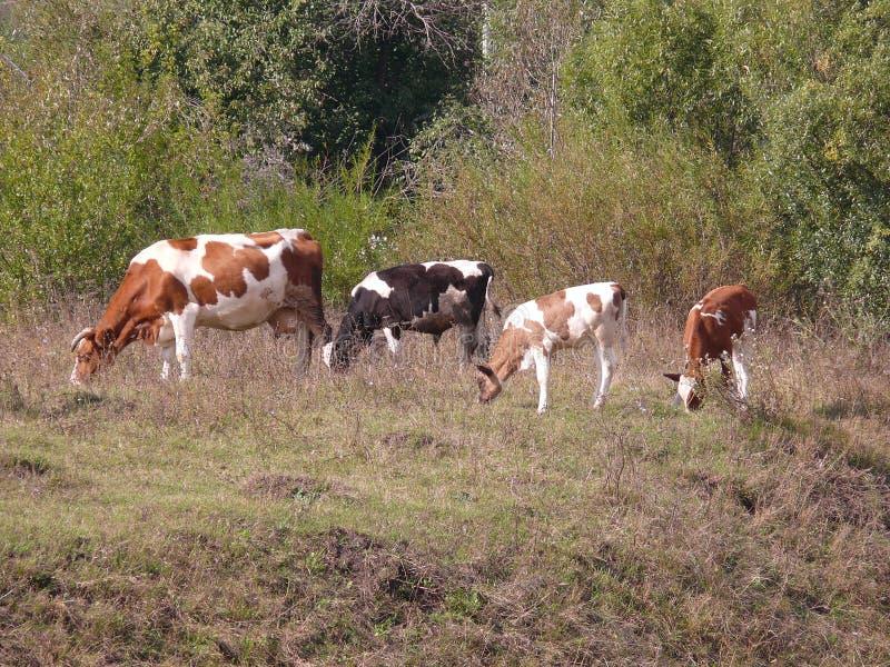 Krowy i łydki w łące fotografia stock
