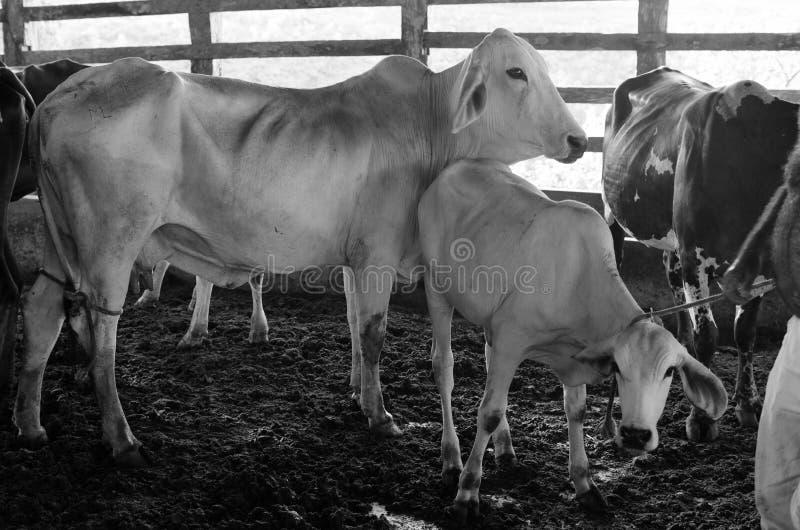 Krowy i łydki w corral obrazy royalty free