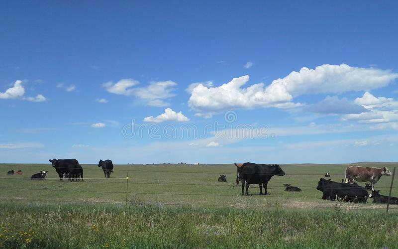 Krowy i łydki w paśniku fotografia royalty free