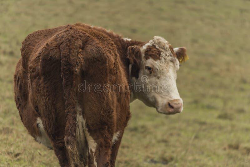 Krowy i byki na ranek łące fotografia stock