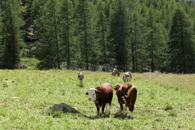 Krowy i osły na pastwiskowej ziemi na włoskich alps obraz stock