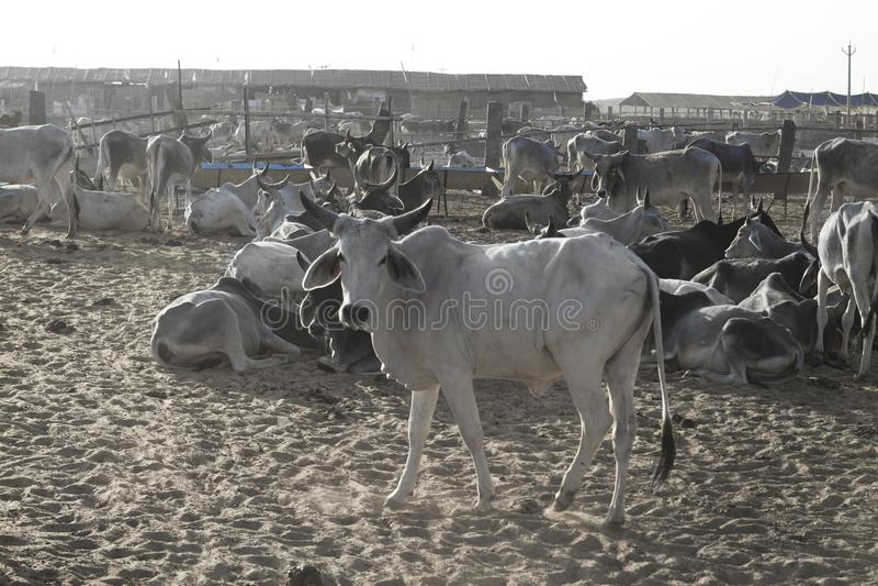Krowy jata zdjęcie royalty free