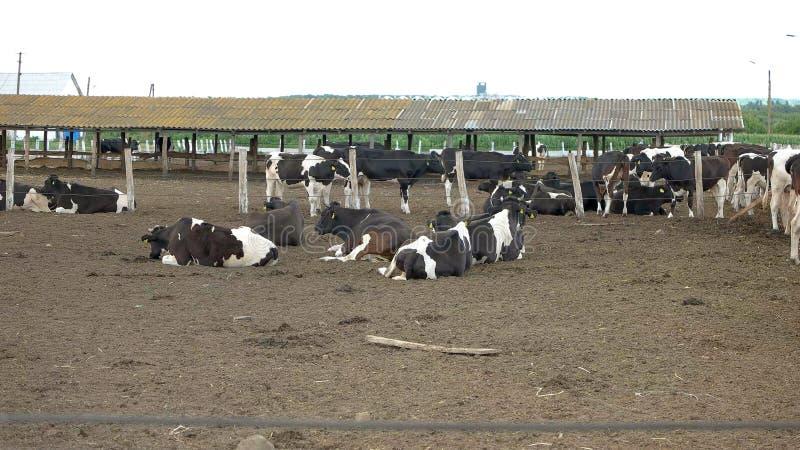 Krowy k?amstwo na ziemi zdjęcie royalty free