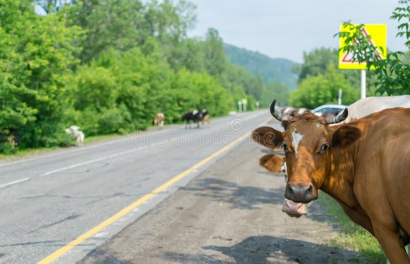 Krowy krzyżuje drogę, niebezpieczeństwo samochody fotografia stock