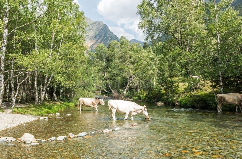 Krowy krzyżuje rzekę w śliwkach De Boavi; w prowincji Lleida, w Katalońskich Pyrenees Catalonia, Hiszpania, Europa fotografia royalty free