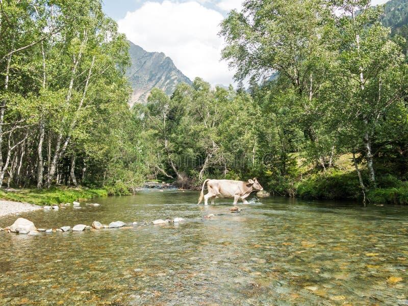 Krowy krzyżuje rzekę w śliwkach De Boavi; w prowincji Lleida, w Katalońskich Pyrenees Catalonia, Hiszpania, Europa fotografia stock