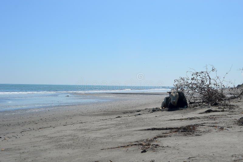Krowy lying on the beach na plaży zdjęcia royalty free