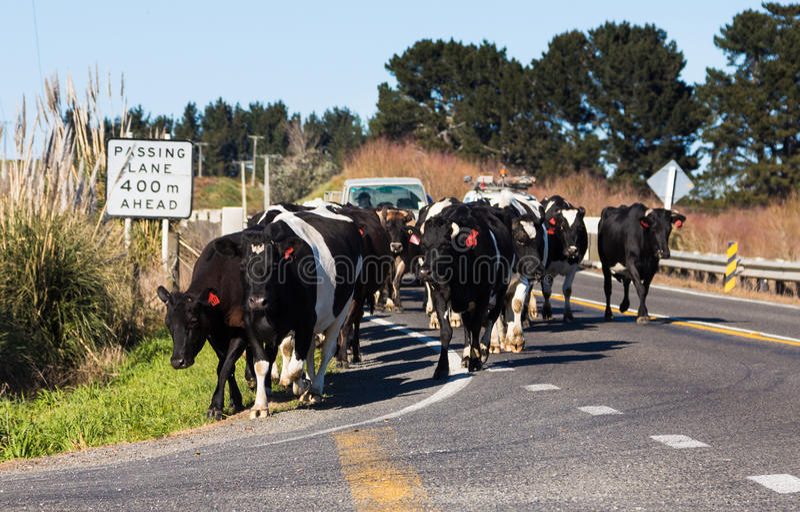 Krowy Na drodze zdjęcia stock