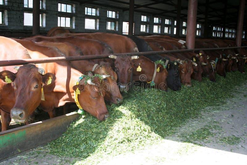 Krowy na gospodarstwie rolnym zdjęcia royalty free