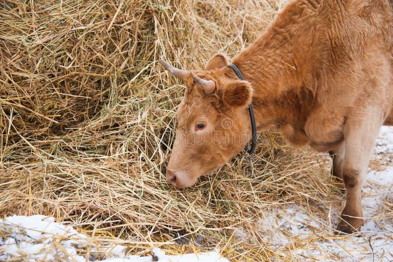 Krowy na gospodarstwie rolnym w zimie obraz royalty free