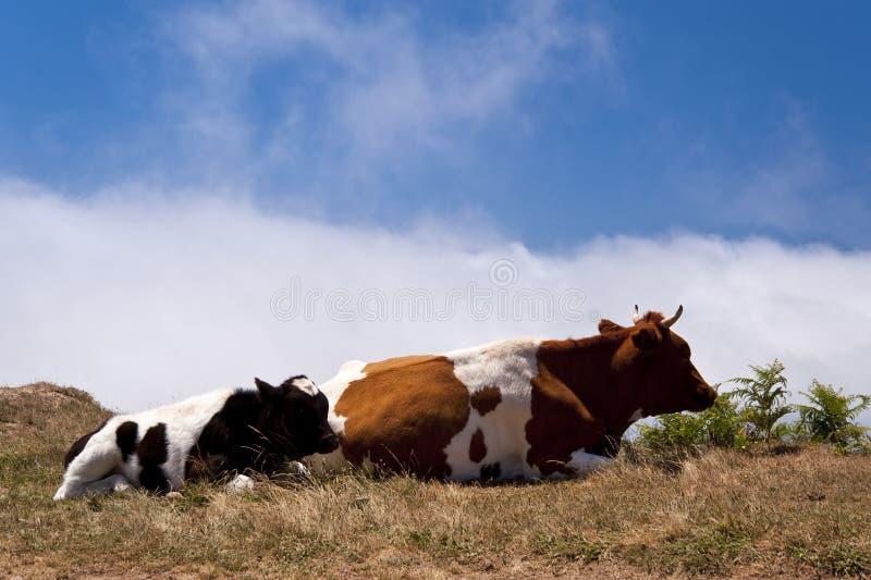 Krowy na Madeira fotografia stock