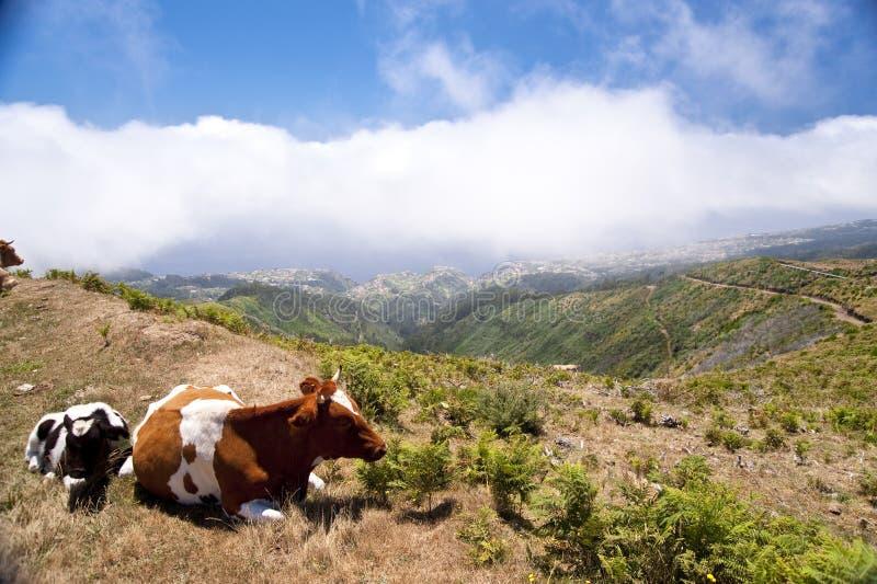 Krowy na maderze zdjęcie stock
