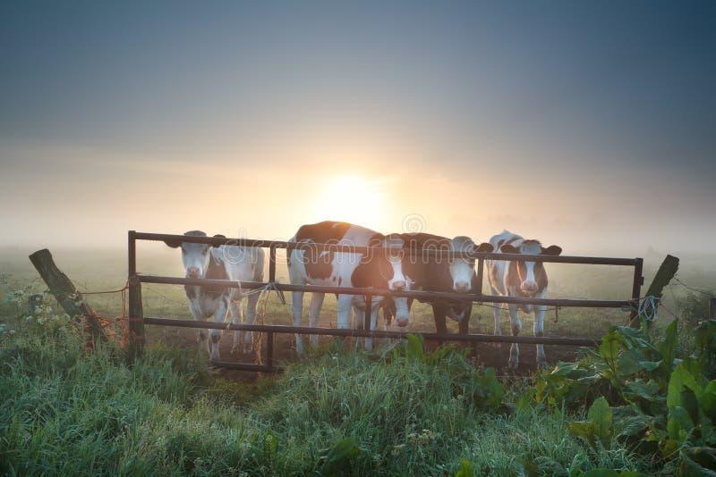 Krowy na mglistym paśniku za ogrodzeniem obrazy stock