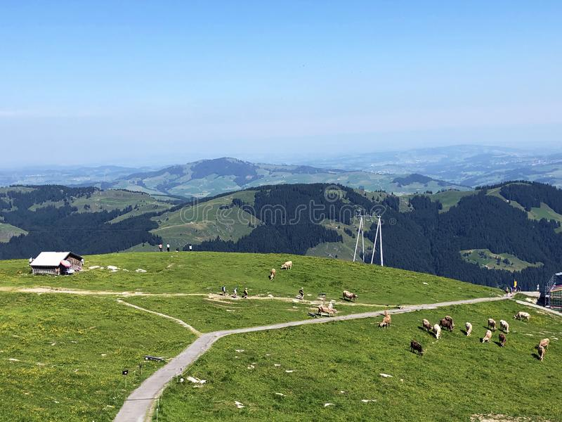 Krowy na paśnikach w dolinie Seealp wysokogórskim Jeziornym Seealpsee Appenzellerland regionem i i łąkach dalej fotografia stock