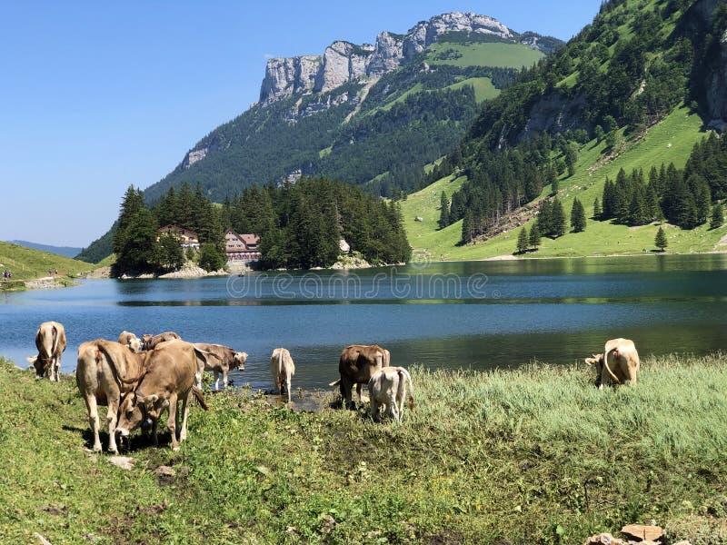 Krowy na paśnikach w dolinie Seealp wysokogórskim Jeziornym Seealpsee Appenzellerland regionem i i łąkach dalej zdjęcia stock