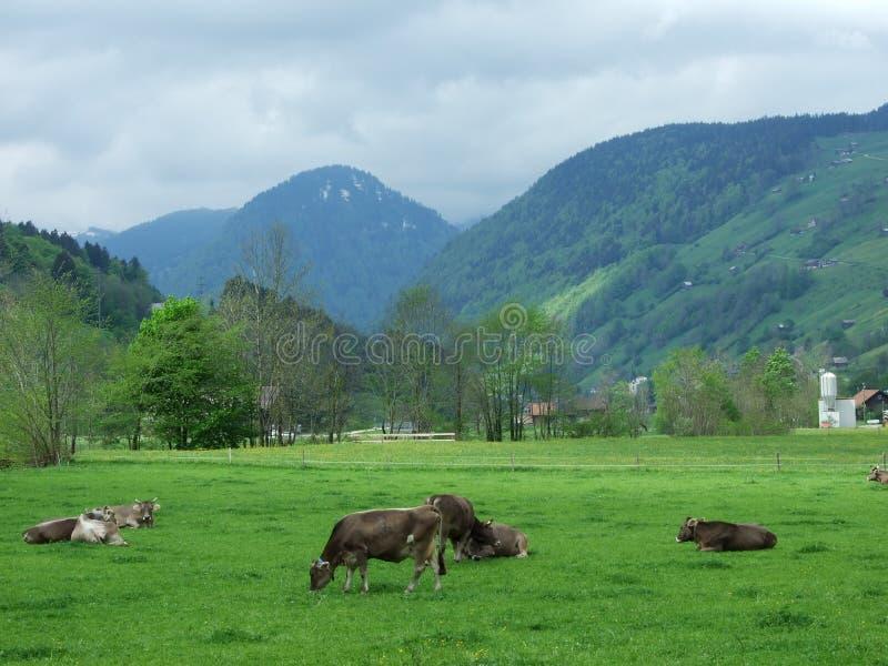 Krowy na paśniku w Unterwasser fotografia royalty free
