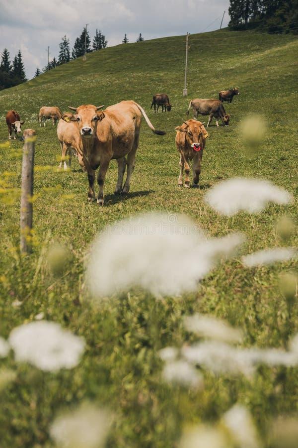 Krowy na polu z błękita i zieleni tłem obraz royalty free