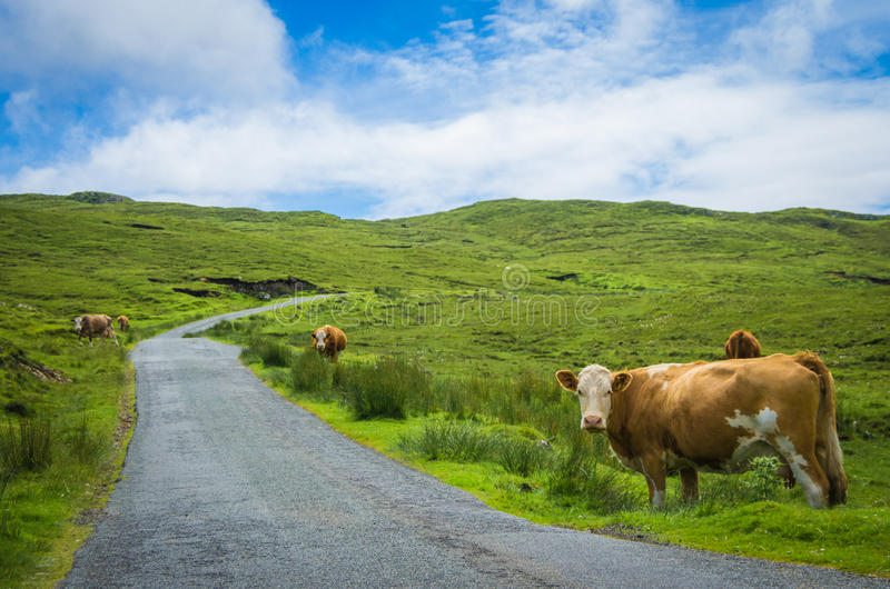Krowy na stronie droga fotografia royalty free