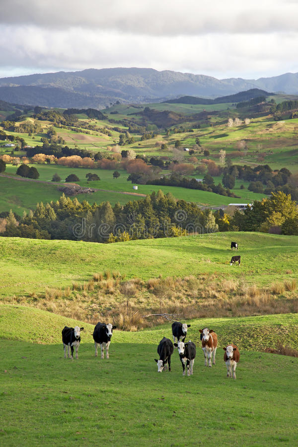 krowy nowy Zealand zdjęcia royalty free
