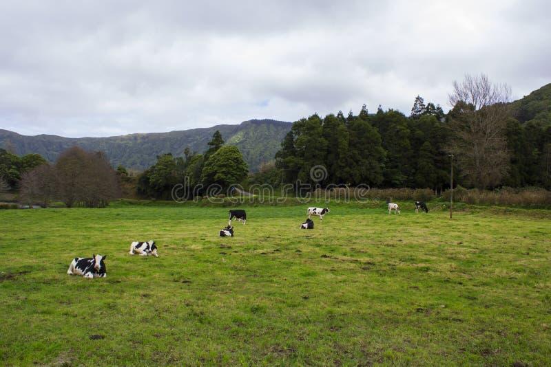 Krowy odpoczywa i pasa na zieleni polu zdjęcie royalty free
