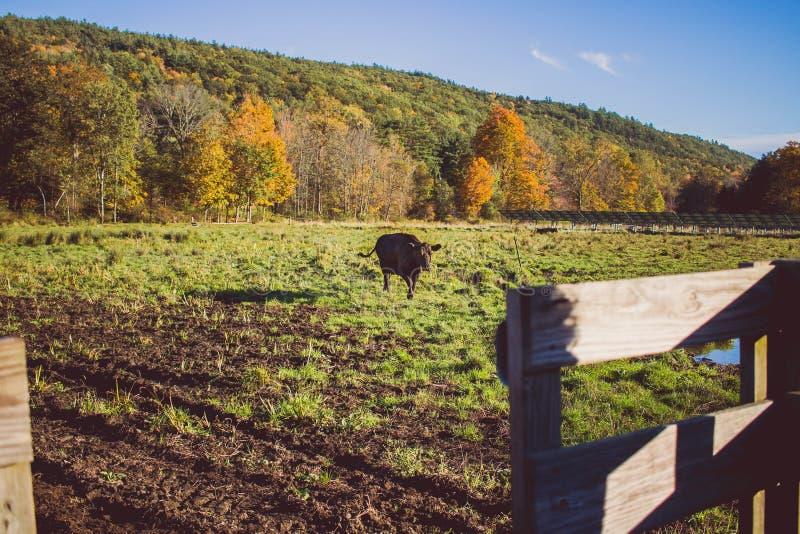 Krowy odprowadzenie na trawiastym polu na słonecznym dniu z górą w tle fotografia royalty free