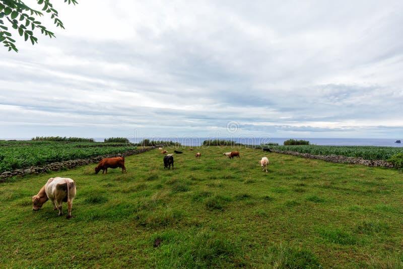 Krowy pasa na Flores zdjęcia royalty free